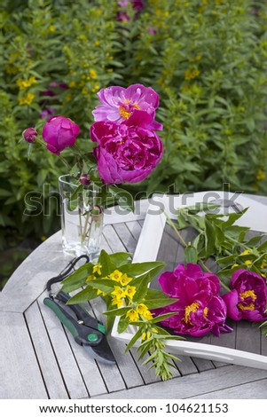 common peony in a cottage garden. preparing a flower bouquet with common peony. - stock photo