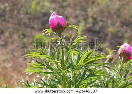 Common peony (Paeonia officinalis) - medicinal plant. Garden plant with pink flowers. - stock photo
