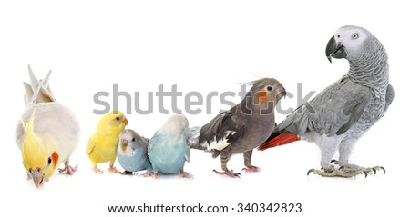 common pet parakeet, African Grey Parrot and Cockatielin front of white background - stock photo