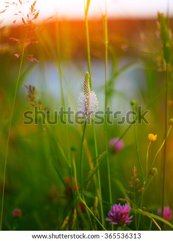 Common plantain on meadow. Sunset time. Shallow depth of field - stock photo