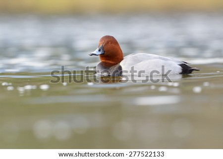 Common pochard (Aythya ferina) swimming in water with reflection. - stock photo