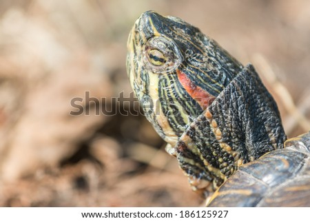 Common Pond Turtle Portrait Closeup - stock photo