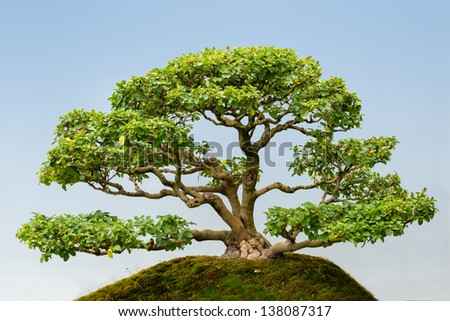 Common Privet Clump (Ligustrum vulgare) bonsai tree - stock photo