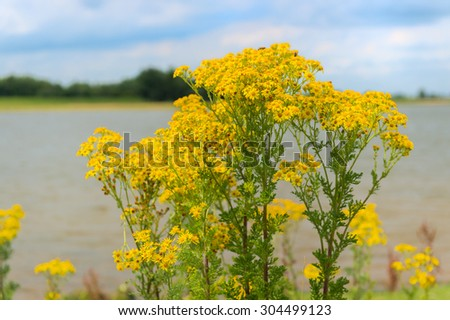Common Ragwort near the river - stock photo