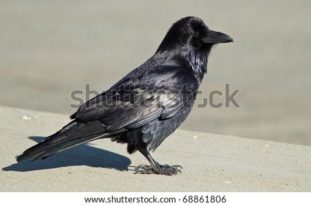Common Raven (Corvus corax). The Common Raven, also known as the Northern Raven, is a large, all-black passerine  bird. - stock photo
