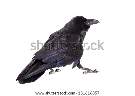 Common Raven (Corvus corax), 28 years old, isolated on white - stock photo