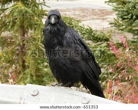 Common Raven, Jasper National Park - stock photo