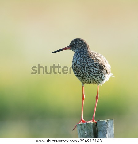 common redshank at wadden island Terschelling in the Netherlands - stock photo