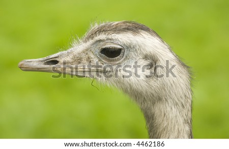 Common Rhea (Rhea americana) - landscape orientation - stock photo