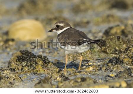 Common Ringed Plover bird in Bahrain. - stock photo