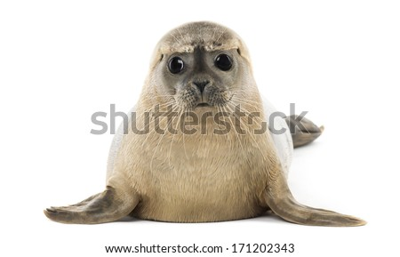 Common seal lying, facing, Phoca vitulina, 8 months old, isolated on white - stock photo