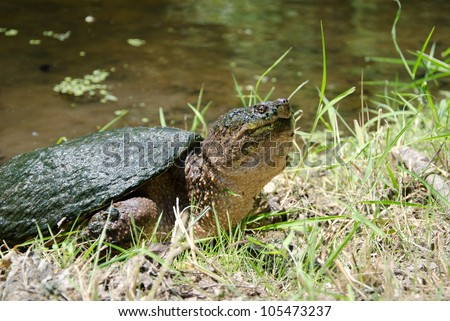 Common snapping turtle at a small pond - stock photo