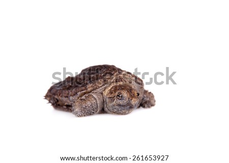 Common Snapping Turtle hatchling on white - stock photo