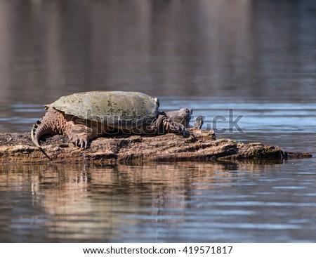Common Snapping Turtle Sunbathing - stock photo