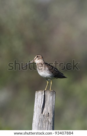 Common Snipe on fence post - stock photo