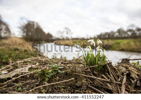 Common snowdrops (Galanthus nivalis) flowering alongside a riverbank in Norfolk, England. Growing out of wood litter. - stock photo