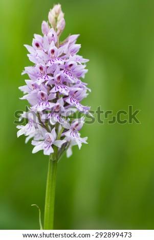 Common spotted orchid, Dactylorhiza fuchsii - stock photo