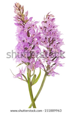 Common Spotted Orchid - Dactylorhiza fushsii  - stock photo