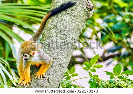 Common Squirred Monkey in its natural habitat in the wild. - stock photo