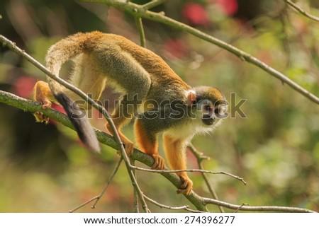 Common squirrel monkey is walking on tree - stock photo