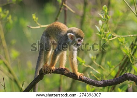 Common squirrel monkey moving on tree - stock photo