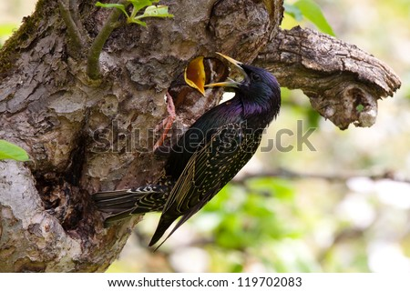 Common Starling feeding its young - stock photo