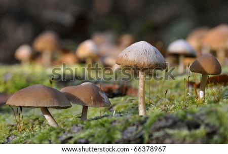 Common Stump Brittlestem Fungus - Psathyrella hydrophila - stock photo