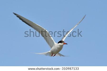 Common Tern ( Sterna Hirundo ) flying across a bright blue sky; - stock photo