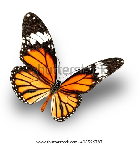 Common Tiger Butterfly upper wing profile flying up (Danaus genutia) - stock photo