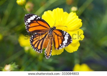 Common tiger butterfly with cosmos flower and insect pollinator in the nature - stock photo
