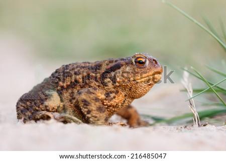 common toad  - stock photo