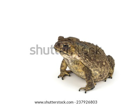 Common toad, bufo bufo, isolated on white background - stock photo