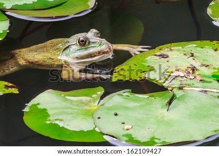 Common Toad Swimming in Nature Environment, Closeup - stock photo