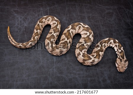 Common viper snake isolated on black background - stock photo