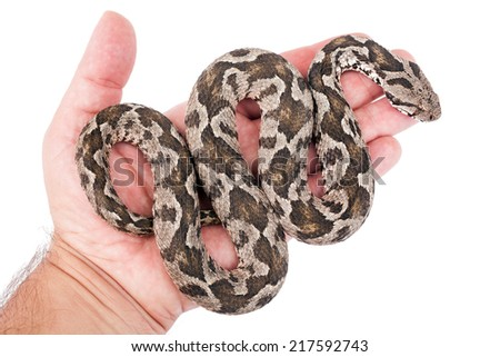 Common viper snake on human hand isolated on white  - stock photo