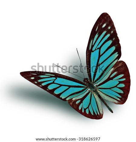 Common Wanderer (Pareronia anais) the beautiful flying fine blue butterfly on white background with soft shadow beneath - stock photo