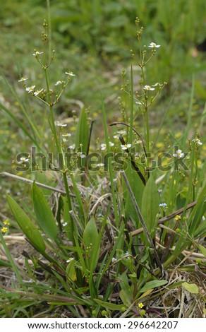 Common Water-plantain - Alisma plantago-aquatica��� Marsh Plant - stock photo