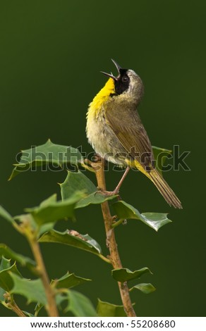Common Yellowthroat (Geothlypis trichas) in full song. - stock photo