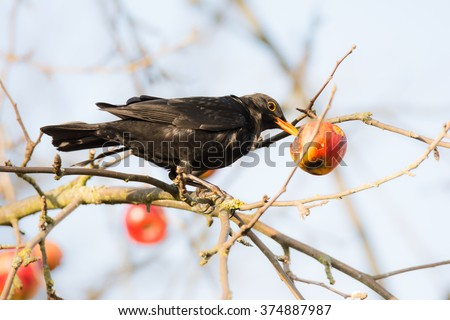 Commonb blackbird pecking and eating apple in an apple tree - stock photo