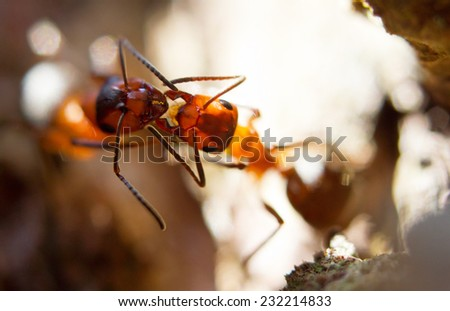 Communicating European red wood ants (Formica rufa) - stock photo