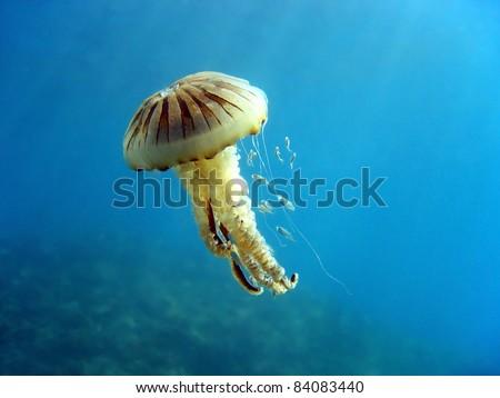 Compass jellyfish with small fish, Mediterranean sea, Vermilion coast, Roussillon, France - stock photo