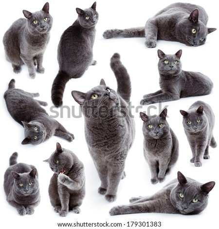 Compilation of green eyed Maltese cat also known as the British Blue on a white background - stock photo