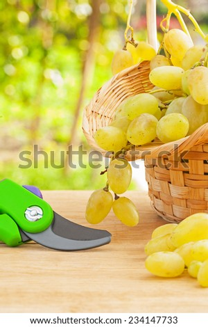 composition of fresh white grape in wicker basket and secateurs on wooden table in wineyard - stock photo