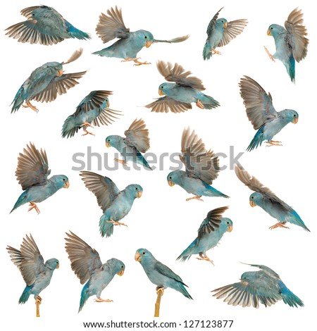 Composition of Pacific Parrotlet, Forpus coelestis, flying against white background - stock photo