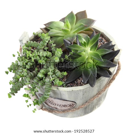 Composition of succulent plant in a pot isolated on white background  - stock photo