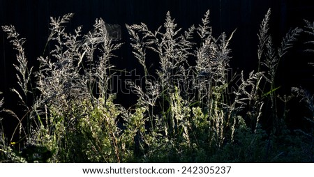 composition with wild grass in sunrise  counterlight on dark background  - stock photo