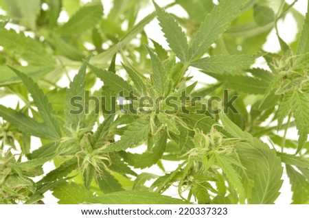 Compromised wild hemp isolated on white background  - stock photo