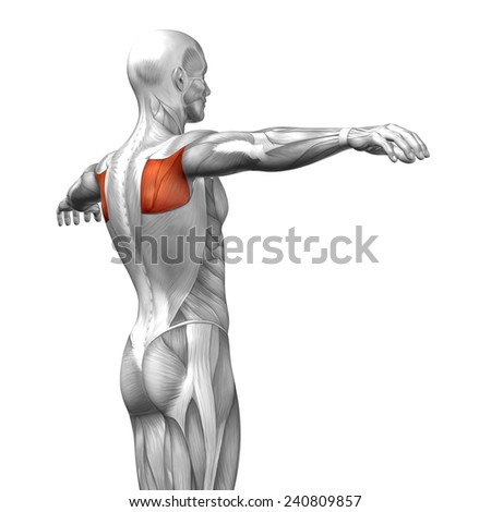 Concept conceptual 3D back human anatomy or anatomical and muscle isolated on white background, metaphor to body, tendon, spine, fit, abs, strong, biological, gym, fitness, skinless, health medical - stock photo