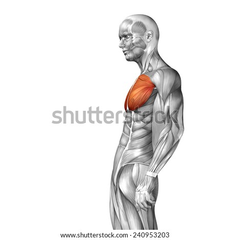 Concept conceptual 3D chest human anatomy or anatomical and muscle isolated on white background, metaphor to body, tendon, spine, fit, abs, strong, biological, gym, fitness, skinless, health medical - stock photo