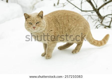 Concept of march - cat's mating season. Red tomcat posing on snow - stock photo